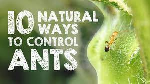 10 effective natural methods to destroy ants